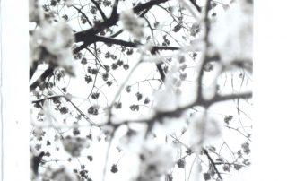 Toshio Enomoto, Kanhi-zakura on a snowy day ,Ebara Shrine, Shinagawa,TokyoNO1