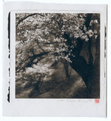 Large wild cherry tree at Nitta Fukushima, Toshio Enomoto, 2014