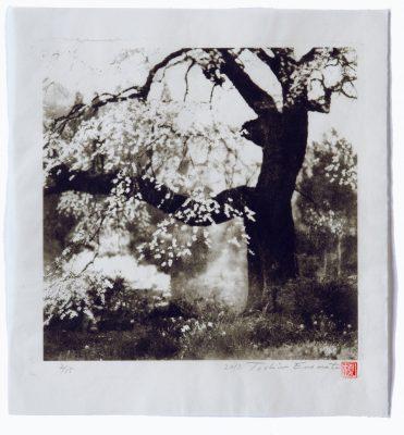 Black ship cherry tree.Achi Village.nagano, Toshio Enomoto, 2015