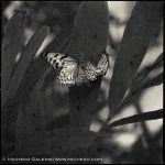 Hiroshi Watanabe - Butterfly, toned gelatin silver print