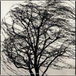 Hiroshi Watanabe, Willow Tree, toned gelatin silver print