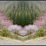 Ryo Ohwada, Sakura